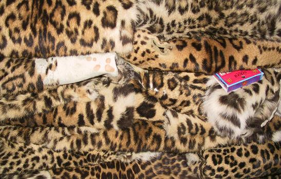 Leopard skins seized in Chitwan National Park, Nepal © Mark Atkinson / WWF