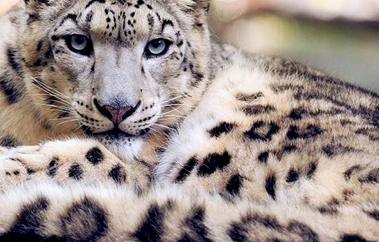 Global Snow Leopard Ecosystem Protection programme