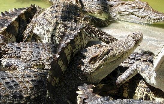 Nile Crocodiles at a breeding farm