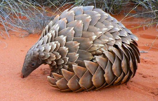 Temminck's Ground Pangolin Smutsia temminckii © Darren Pietersen / African Pangolin Working Group