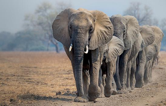 African Elephants Loxodonta africana in Zambia © Richard Barrett WWF-UK