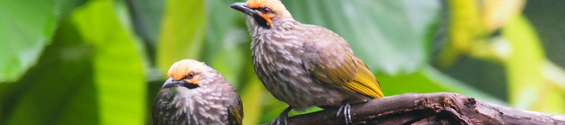 Straw-headed Bulbuls in the wild