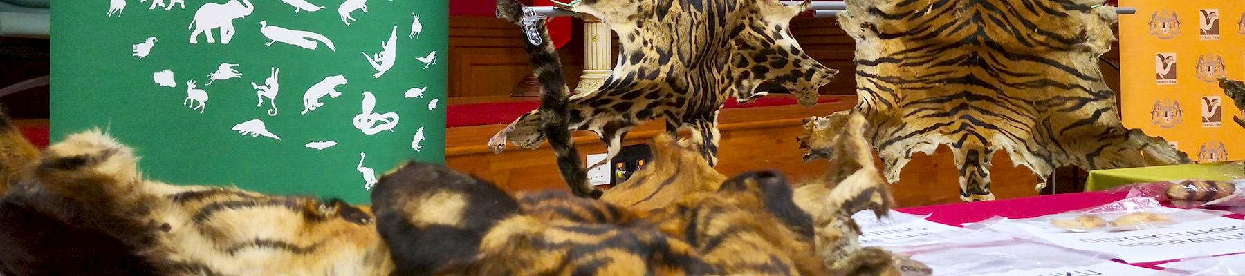 Tiger and leopard skins were among the wildlife products seized by authorities © TRAFFIC
