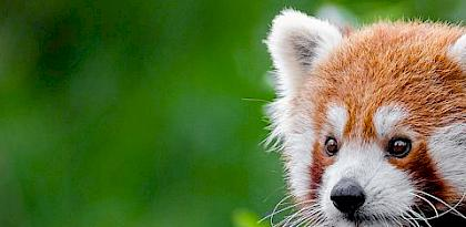 Red Panda market research findings in China