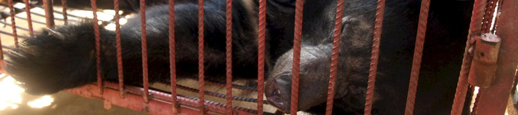 Caged bear in a Lao PDR farm, 2012 © TRAFFIC