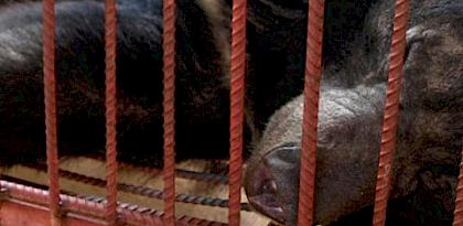 Study calls for scrutiny of bear farms in Lao PDR