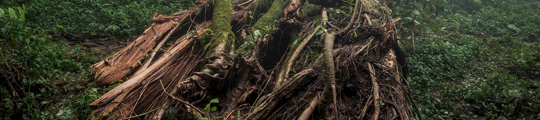 Felled tree in the forest at the base of Mount Cameroon © A. Walmsley / TRAFFIC