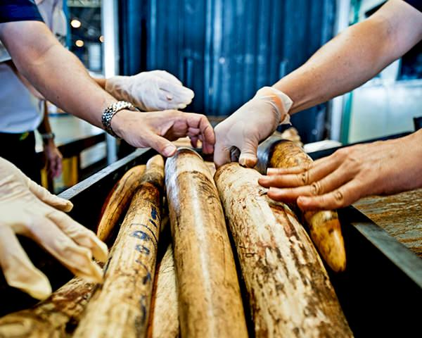 Seized Shipment of Illegal African Elephant Tusks © WWF / James Morgan