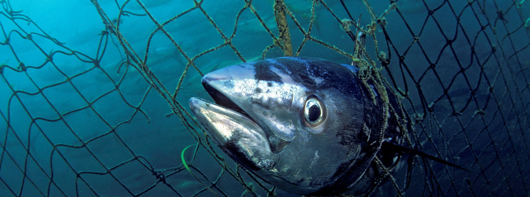 Southern Bluefin Tuna Thunnus maccoyii caught in a tuna pen, Port Lincoln, South Australia © naturepl.com / David Fleetham / WWF