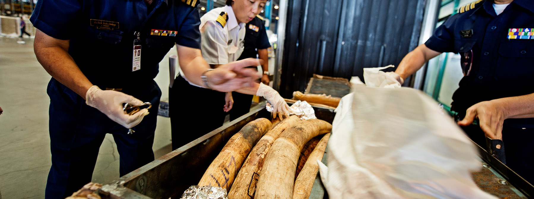 Customs officials in Suvarnabhumi discover a shipment of African elephant tusks from Mozambique © WWF / James Morgan
