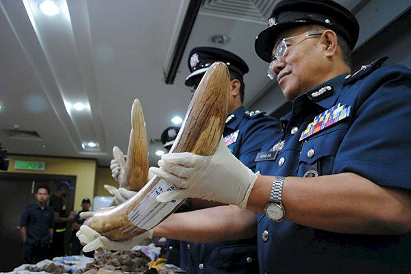 Malaysian Customs reveal a seized shipment of elephant tusks © TRAFFIC