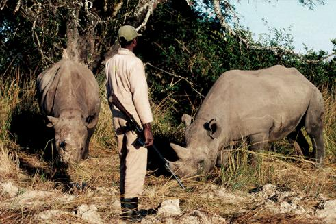 Black Rhino Diceros bicornis under 24 hour armed guard in Zimbabwe © Martin Harvey / WWF