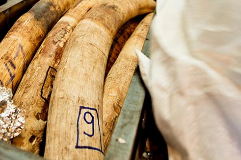 Seized elephant tusks en route to China © James Morgan / WWF