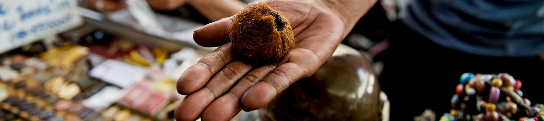 A tiger's testicle, of dubious authenticity, on sale at Tha Phra Chan market, Bangkok, Thailand © James Morgan / WWF