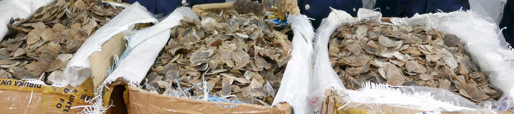 File photo of sacks of pangolin scales seized in Malaysia © TRAFFIC