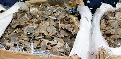 Businessman charged in connection with Malaysia's biggest pangolin scale seizure