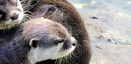 Otter Alert: A rapid assessment of illegal trade and booming demand in Japan