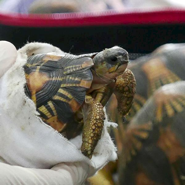 A juvenile Indian Star Tortoise Geochelone elegans is displayed by Malaysian Customs authorities following a major seizure at Kuala Lumpur airport © E. John / TRAFFIC