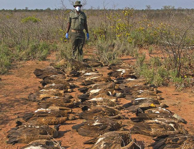 Vultures killed by a mass poisoning event in Africa © BirdLife