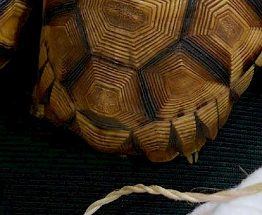Landmark prosecutions but low fines for Critically Endangered tortoise trafficking in Indonesia