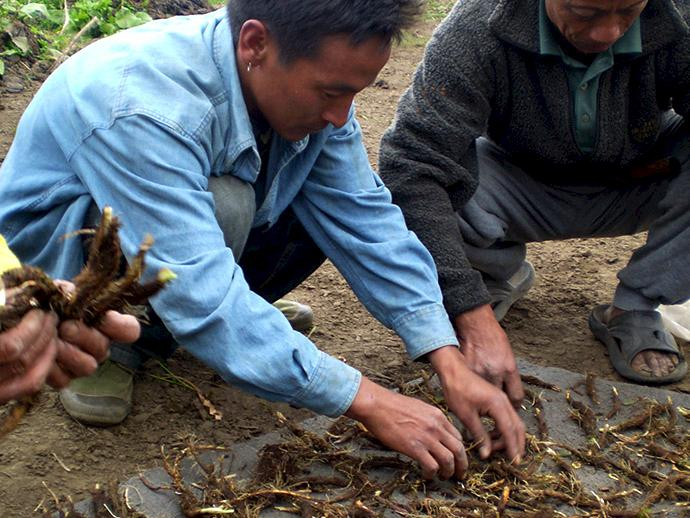 Local harvesters drying Jatamansi rhizomes. Photo: ANSAB