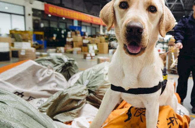 A wildlife sniffer dog searches postal sacks at an airport warehouse