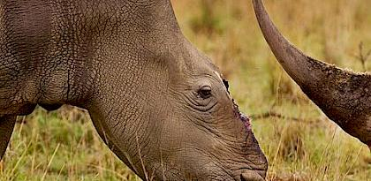 South Africa: national rhino poaching tally falls for fifth year running