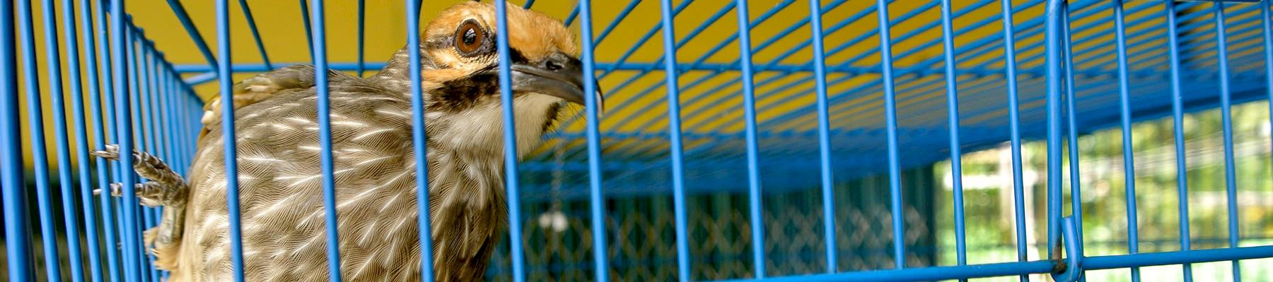 Straw-headed Bulbul: over-exploited for the songbird trade © TRAFFIC
