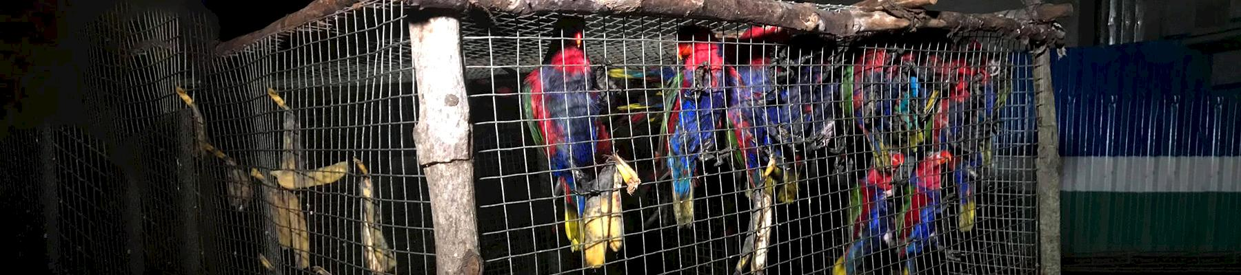 Black-capped Lories were among the sizeable haul of birds seized Photo courtesy BMB-DENR