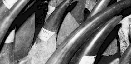 File photo of rhino horns © TRAFFIC