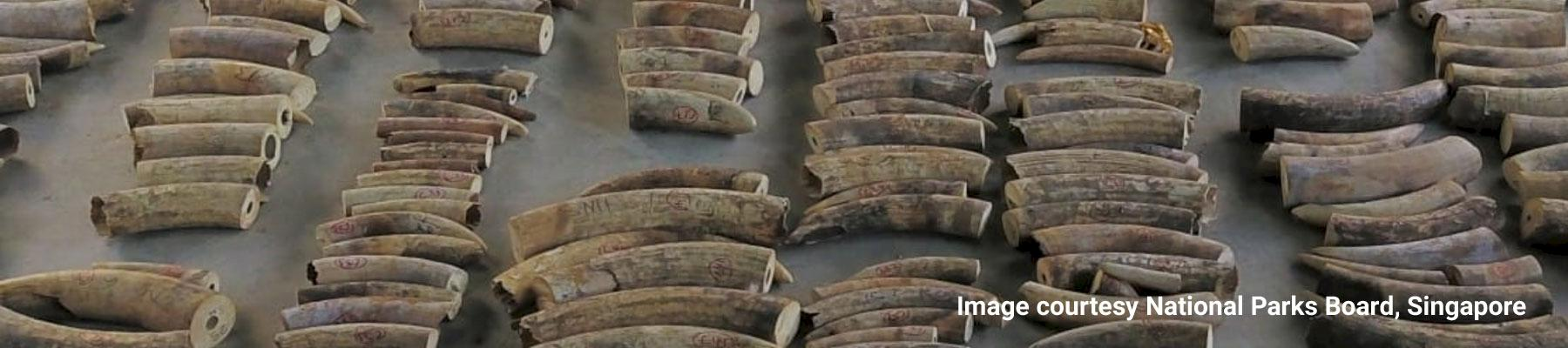 Some of the 8.8 tonnes of African elephant ivory seized in Singapore Image courtesy National Parks Board, Singapore