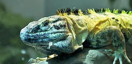 Mexican Spiny-tailed Iguana Ctenosaura pectinata, proposed for inclusion in Appendix II. Photo: Postdlf / CC BY-SA 3.0
