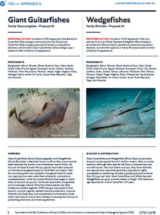 Guitarfishes & Wedgefishes
