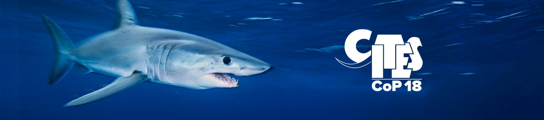Mako Shark Isurus oxyrinchus, proposed for listing in CITES Appendix II. Photo: Brian J. Skerry / National Geographic Stock / WWF