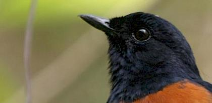 White-rumped Shama © James Eaton / Birdtour Asia