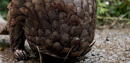 A live pangolin for sale in a market near Douala, Cameroon. Photo: TRAFFIC / A. Walmsley