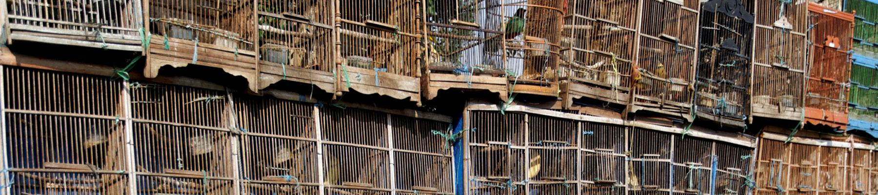 Rows of songbirds in cages for sale © Mikelane45 / Dreamstime.com