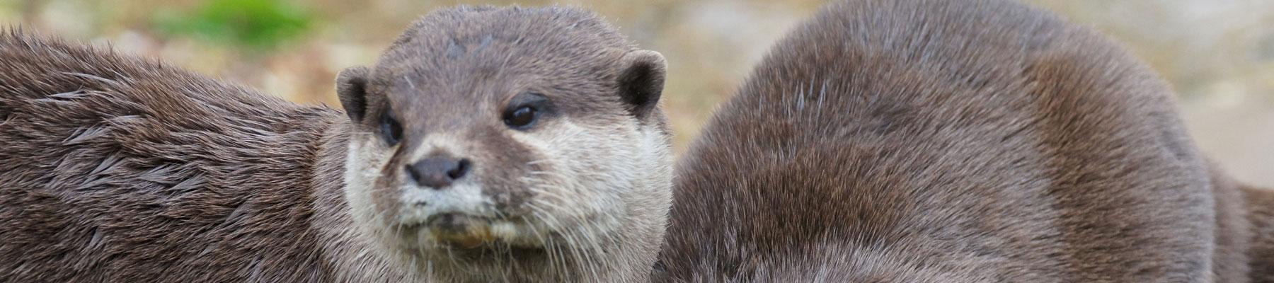 Asian Small-clawed Otter - now listed in CITES Appendix I. Photo used under CC BY-NC 2.0