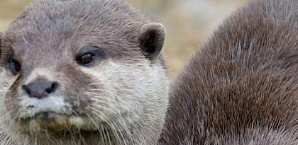 Asian Otters: CITES parties approve highest trade protection levels