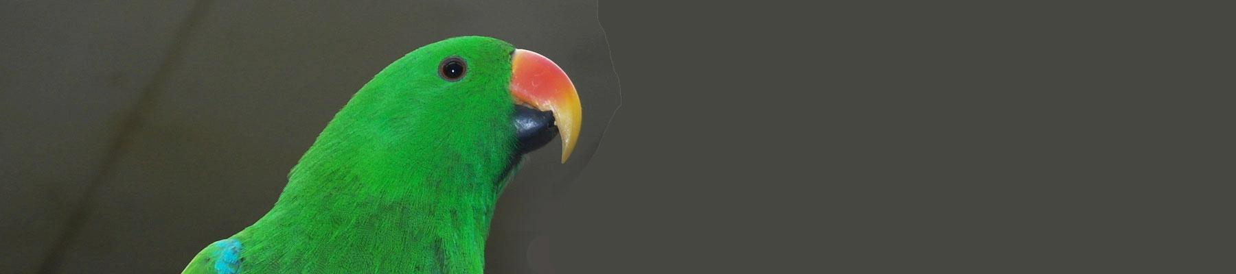 Male Eclectus Parrot. Image by RitaE from Pixabay