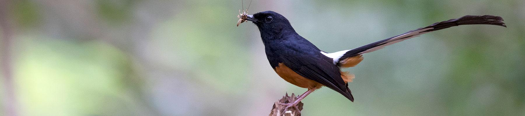 Popular songster: the White-rumped Shama is no longer protected although populations in Indonesia are plummetting © Danushka Senadheera (CC BY-NC-ND 2.0)
