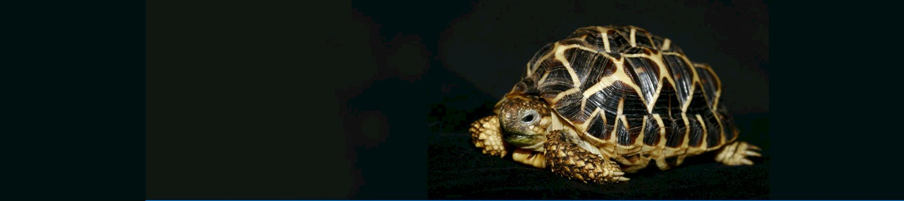 Indian Star Tortoise © Chris R Shepherd / TRAFFIC
