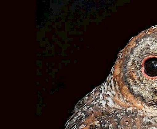TRAFFIC warns of illegal trapping, trade and utilisation of owls around Diwali