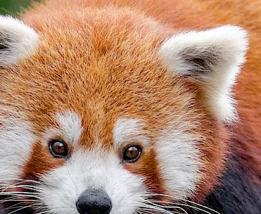 Illegal trade of Red Pandas in India and across borders