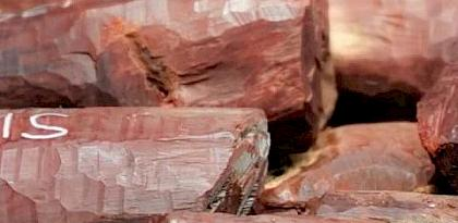 Major haul of Indian Red Sanders in Malaysia