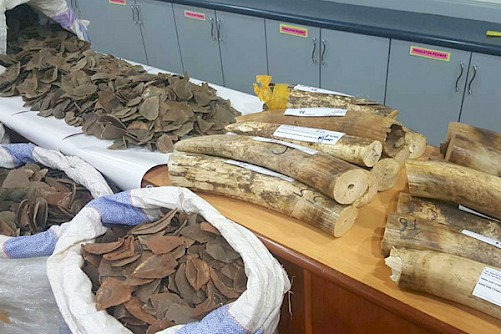The latest seizures involved over 75kg of raw ivory and six gunny bags hiding more than 300kg of pangolin scales