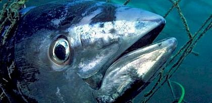 Southern Bluefin Tuna Thunnus maccoyii, South Australia © naturepl.com / David Fleetham / WWF