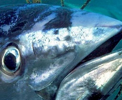 Mixed news on Southern Bluefin Tuna: stocks rebuilding but Indonesia is overfishing