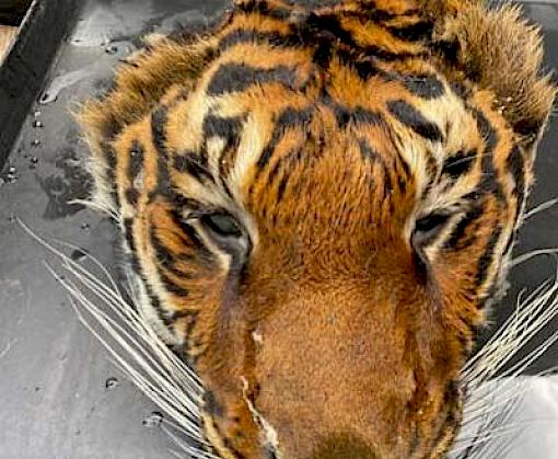 Five live tigers and a tiger head seized from Thai Zoo