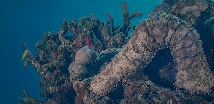 Sea cucumber trade From Africa to Asia